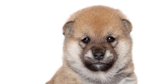 柴犬の画像 p1_24