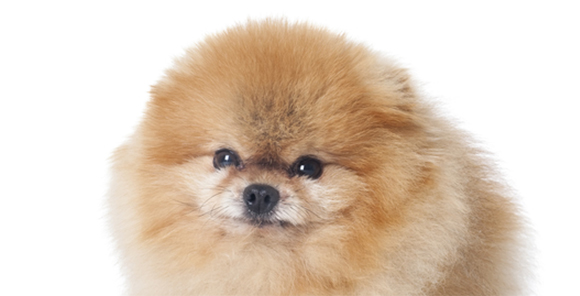 歴史のある犬ポメラニアン
