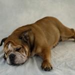 犬の肥満は危険!犬の正しいダイエット