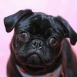 ブサカワ犬はやっぱり可愛い!根強い人気のブサカワ犬の犬種って?