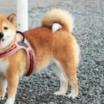 柴犬が老犬になったら|柴犬の寿命を延ばすためにできること