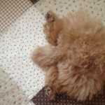 トイプードルのしっぽの動きの意味とは?|トイプードルのしっぽから読み取る愛犬の気持ち