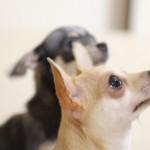 犬の耳の動きで読み取る愛犬の気持ち