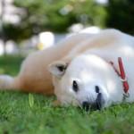 柴犬の平均価格と個体によって価格が違う理由