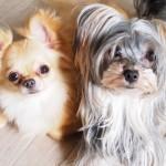 犬も恋愛する!?|犬の恋愛事情