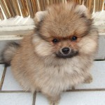 ポメラニアンの子犬にまず教えたいトイレのしつけ|ポメラニアンのトイレトレーニング