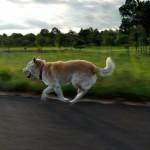 柴犬に必要な運動量はどのくらい?|柴犬に効果的な運動方法