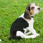 スヌーピーのモデル犬種「ビーグル」の魅力とは!?