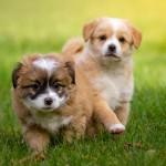ブリーダーワンがおすすめする優良ブリーダーとは?  ~健康で良い子犬を迎えるために~
