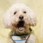 トイプードルの噛み癖のしつけ方|子犬期トイプードルの甘噛みへの対処法