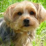 ヨークシャテリアの健康で良い子犬の選び方|ヨーキーの子犬