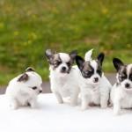 チワワの子犬の選び方|チワワの子犬