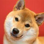 柴犬の性格からみる上手な飼い方