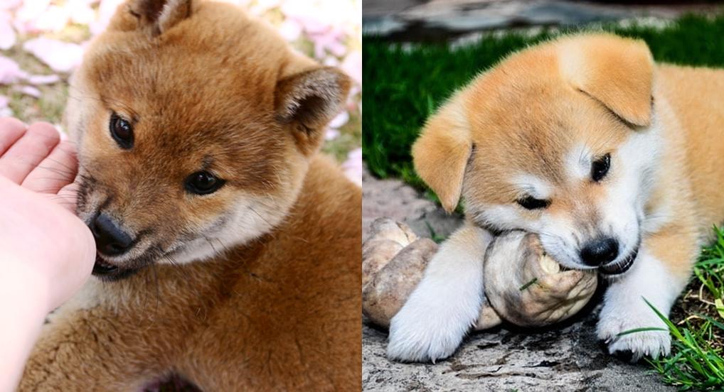 柴犬と秋田犬の違いは大きさだけ?