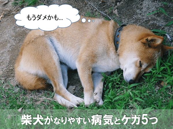 柴犬が気を付けておきたい病気やケガ5つ
