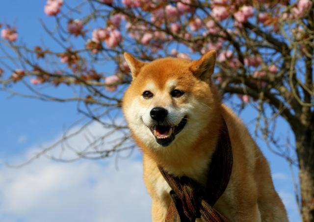 日本犬の種類はたった6犬種だけ?それぞれの特長