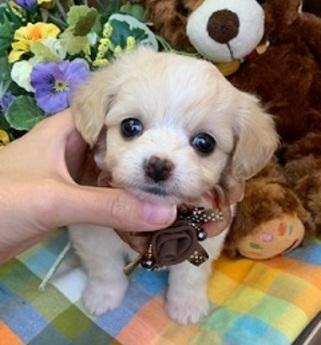 ミックス犬(トイプードル×チワワ)(東京都 男の子 44861)